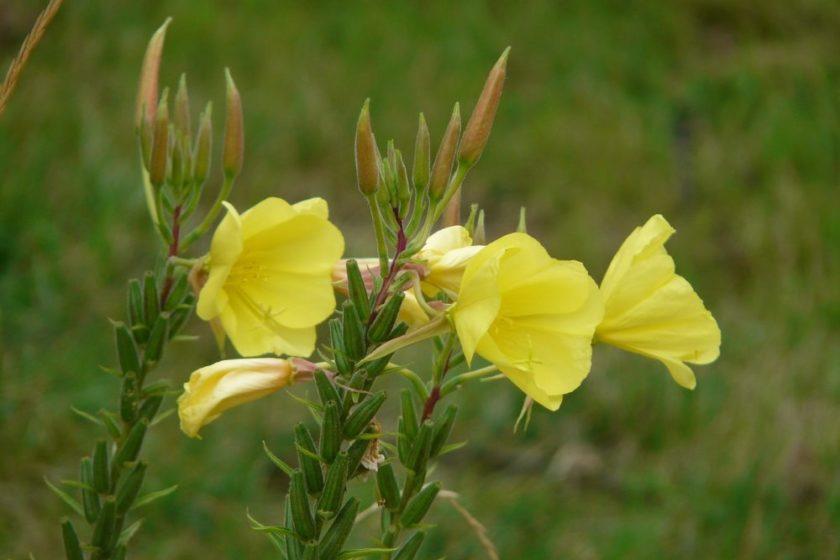 Nachtkerze Pflanze